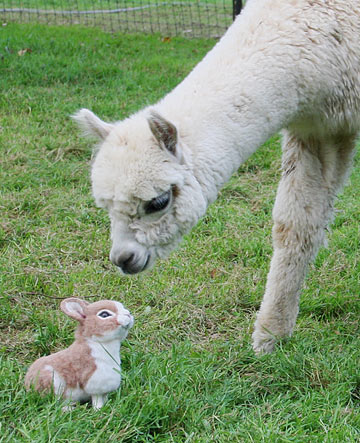 Stevi T alpaca bunny meets Llama
